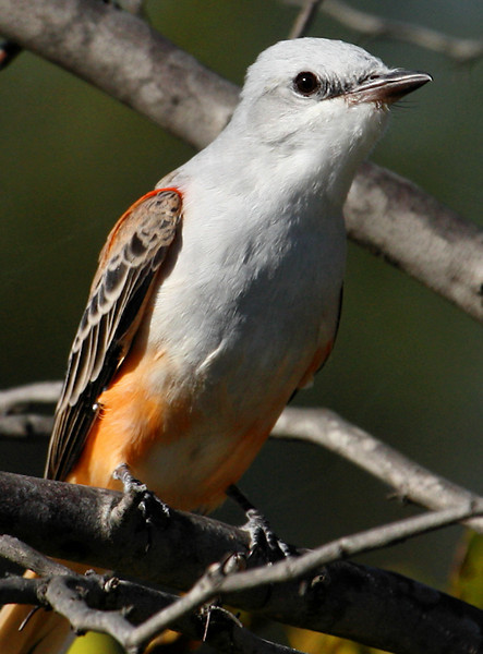 Close-up of a scissor-tailed flycatcher (Tyrannus forficatus) in a tree (2009_09_27_029679)