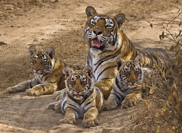 tiger family in ranthambore