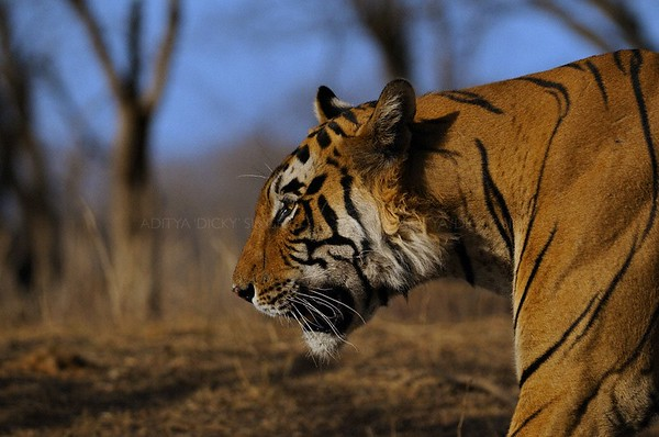 tiger of ranthambhore