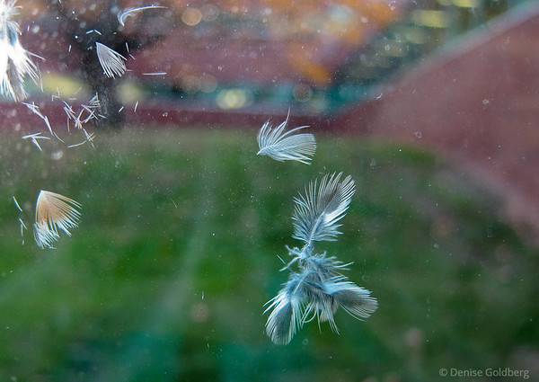 feathers from bird crash into window