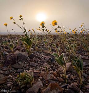 Desert Gold in a Sandstorm