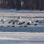 Trumpeters Swans, Mallards and Gadwall