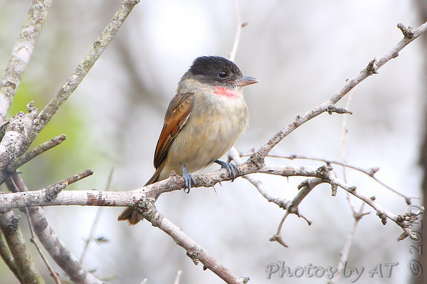 Rose-throated Becard