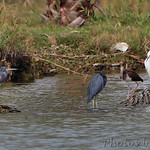 Tri-colored Heron, Little Blue Heron, White Ibis and Snowy Egret