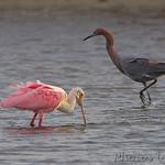 Roseate Spoonbill and Reddish Egret