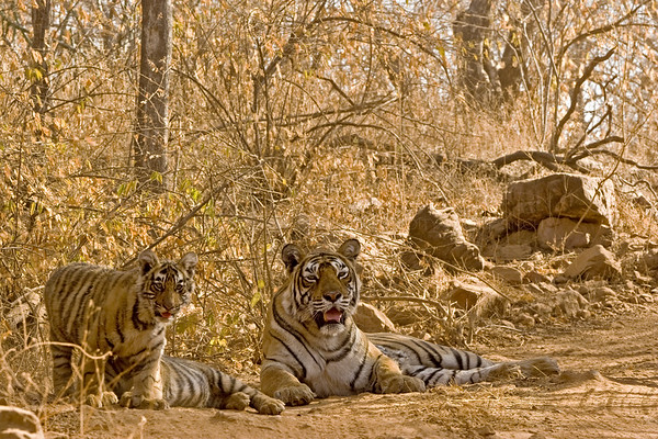 ranthambhore tiger family