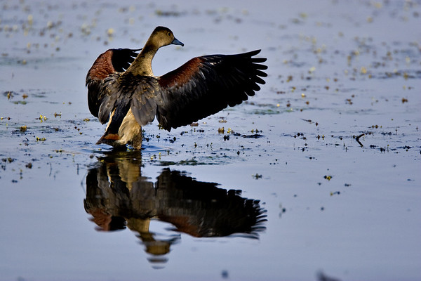 duck in ranthambore