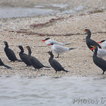 Neotropic and Double-crested Cormorants and Caspian Terns