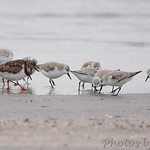 Ruddy Turnstone and Sanderlings