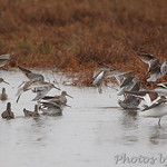 American Avocet and Short-billed Dowitchers