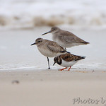 Ruddy Turnstone, Black-bellied Plover and Willet