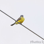 Kingbird sp.