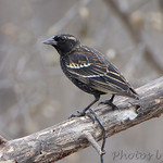 odd Red-winged Blackbird ?