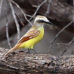 Great Kiskadee (Leucistic)