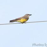 Kingbird sp.
