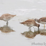 Yellowlegs sp., Dowitcher sp. and Willet