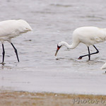 Whooping Crane and Snowy Egret