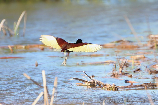 Northern Jacana Choke Canyon State Park Texas