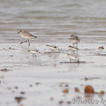 Black-bellied Plover and Sanderlings