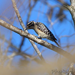 Laddered-backed Woodpecker