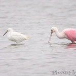 Snowy Egret and Roseate Spoonbill