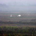 Whooping Cranes at a far distance