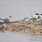 Caspian and Common Terns