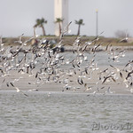 Terns and Gulls