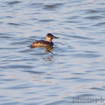 Ruddy Duck?