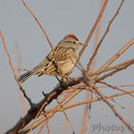 Sparrow sp.