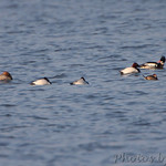 Canvasback, Red-breasted Merganser and Ruddy Duck