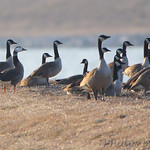 Greater White-fronted x Canada Goose Hybrid ?