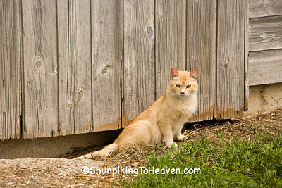 Farm Cat, Osceola County, Iowa