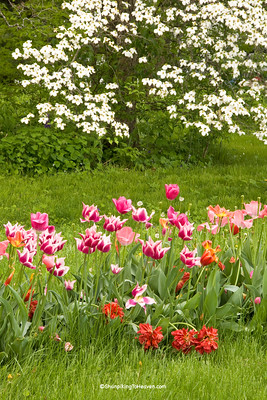 Tulips and Dogwood, Clark County, Illinois
