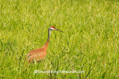 Sandhill Crane, Columbia County, Wisconsin