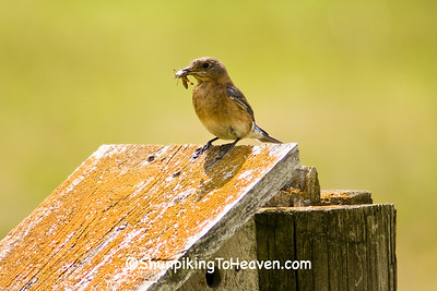 Bluebird Feeding Young, Sauk County, Wisconsin