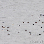 Bufflehead landing by Ruddy Ducks and Scaup