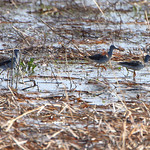 Yellowlegs sp.