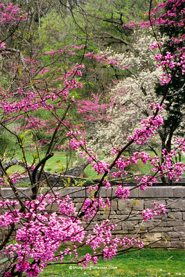 Blossoming Redbud and Dogwood, Spring Mill State Park, Lawrence County, Indiana