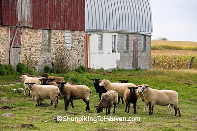 Sheep in the Barnyard, Monroe County, Wisconsin