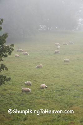 Sheep in the Foggy Meadow, Richland County, Wisconsin