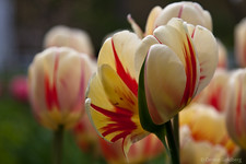 tulips unfolding