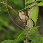 Carolina Wren • Lost Valley Trail