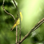 Kentucky Warbler • Lost Valley Trail