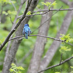 Indigo Bunting • Lost Valley Trail