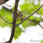 Female Scarlet Tanager • Lost Valley Trail
