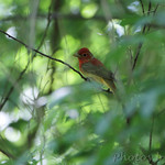 Summer Tanager juvenile male