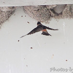 Swallow sp.