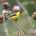 American Goldfinch at Blue Grosbeak Trail