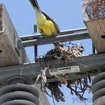 Western Kingbird nest